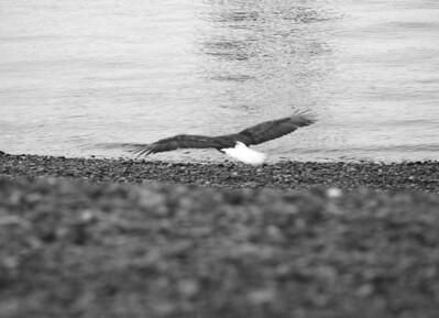 IMG_0396 Homer, Alaska Bald Eagles Alaska Bald Eagles