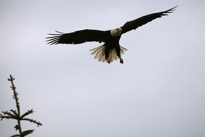 IMG_0830 Homer, Alaska Bald Eagles Alaska Bald Eagles