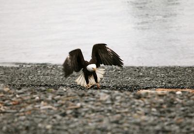 IMG_0409 Homer, Alaska Bald Eagles Alaska Bald Eagles