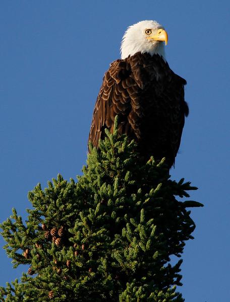 Canada eagles 3 (2010)