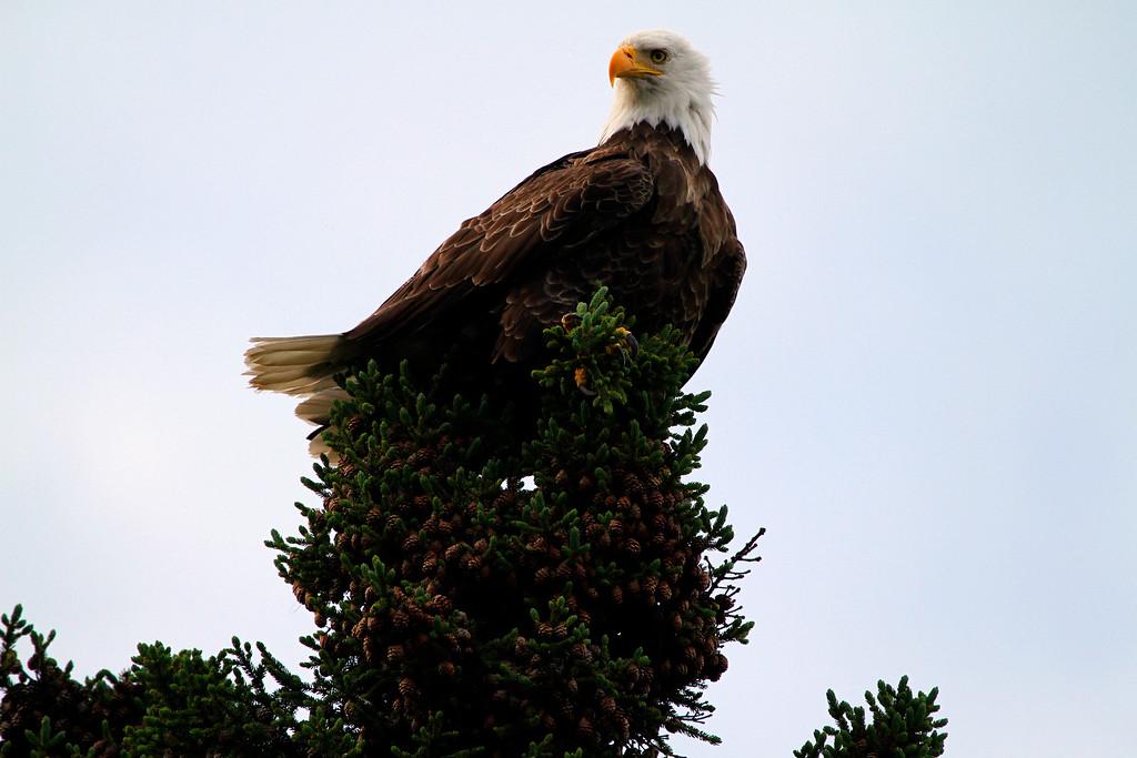 Canada eagles 9 (2010)