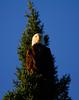 Canada eagles 13 (2010)