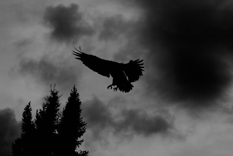 Canada eagles 1 (2010)