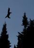 Canada eagles 2 (2010)