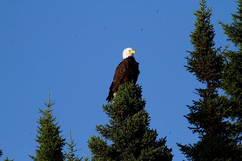 Canada eagles 12 (2010)