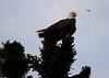 Canada eagles 8 (2010)