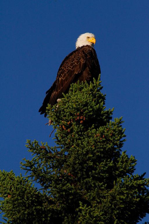 Canada eagles 5 (2010)