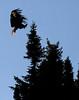Canada eagles 10 (2010)