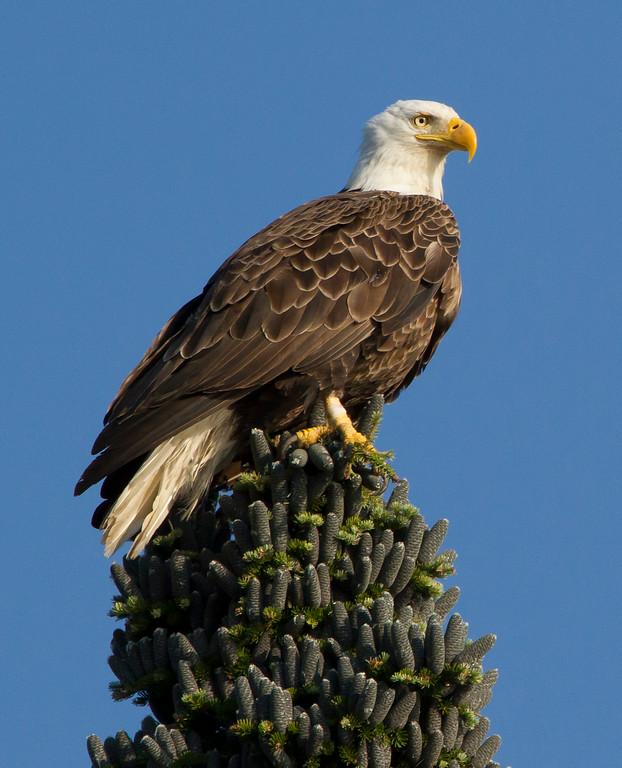 Canada eagle 6 (2014)