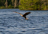 Canada eagle 7 (2014)
