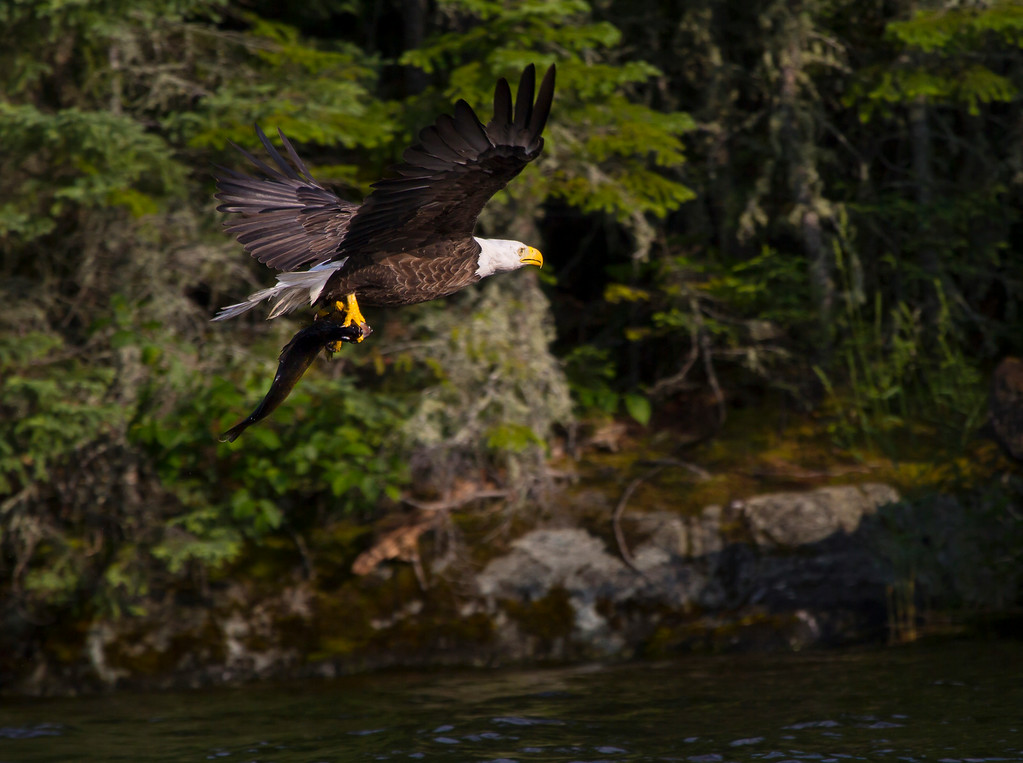 Canada eagle 4 (2014)