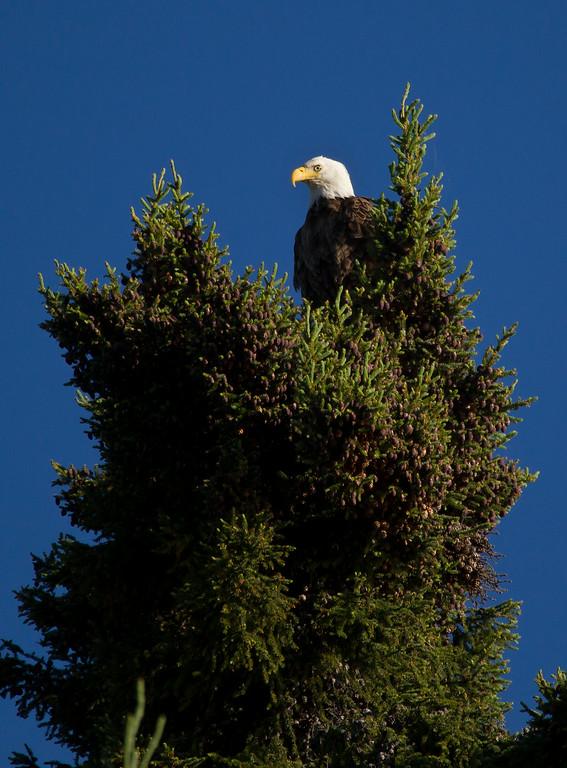 Canada eagle 2 (2014)