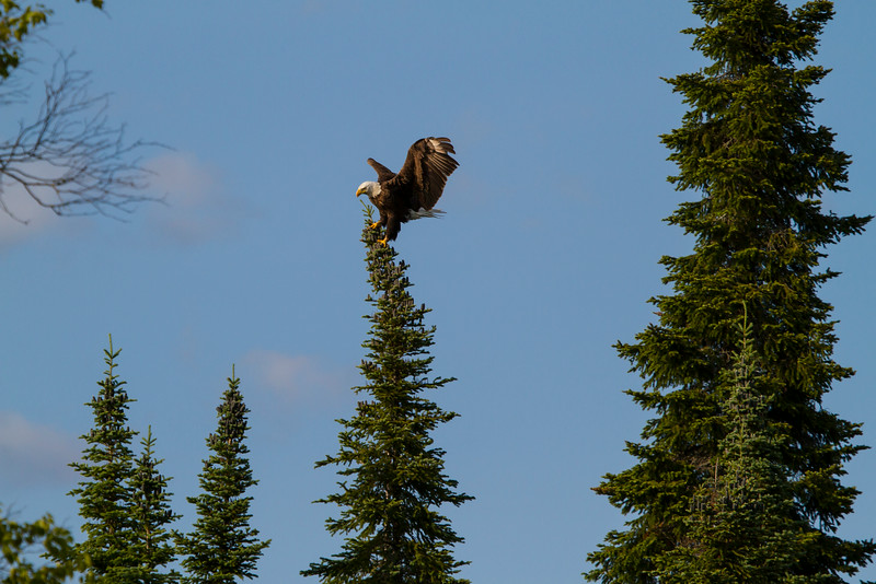 Canada eagle 3 (2014)