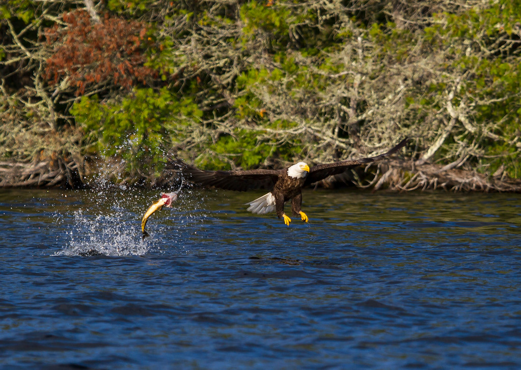 Canada eagle 5 (2014)