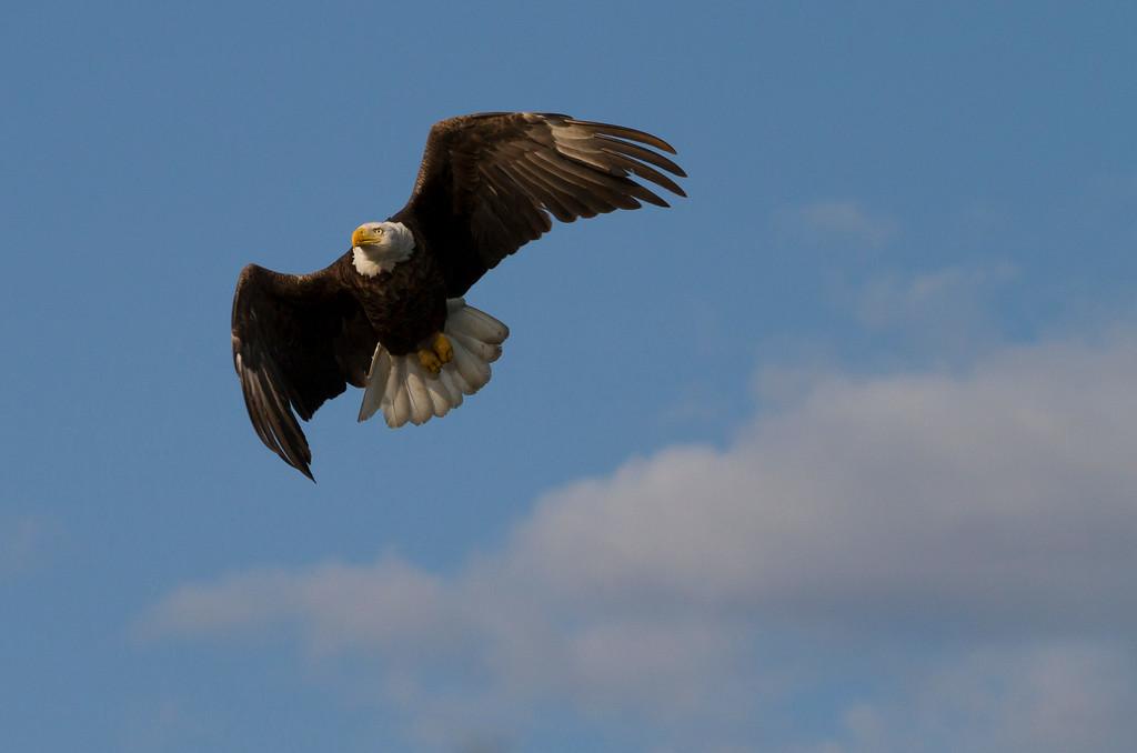 Canada eagle 1 (2014)