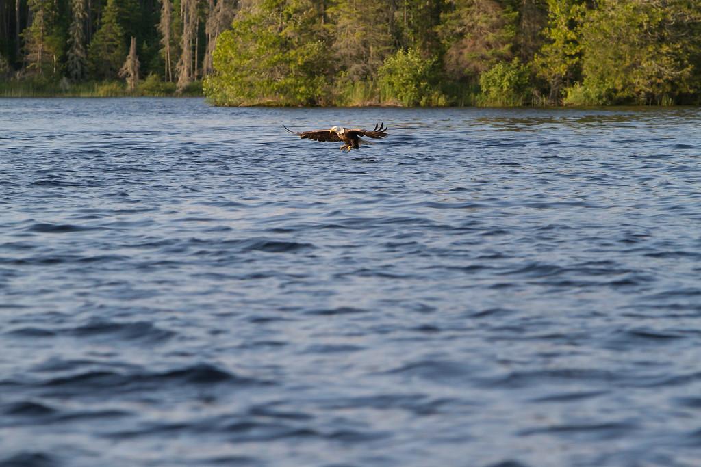 Canada eagle 8 (2014)