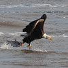 Conowingo Dam Eagles 2008 : This gallery represents photos taken from our first year traveling to Conowingo Dam, MD off of Route 1. Only a few pictures to start with a few more to add. This trip was a cold and damp one. It also gave me a challenge because I was new at this type of photography.