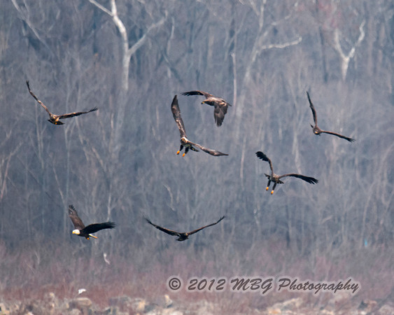 Many times you will seem a group of 7 eagles plus fighting for the caught fish. Notice that the fish is dropped from the far left bottom of the picture. This photograph was really too far away for my lenes to capture good quality detail but it was an interesting photo to share.