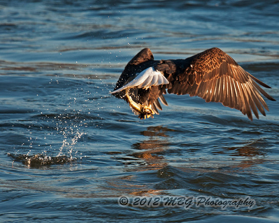 I have gotten many photos like this rear end shot. Seem that they usually fly away from me. The ones that are at the right angle and coming toward me are what I want the most. That and a good fighting scene.
