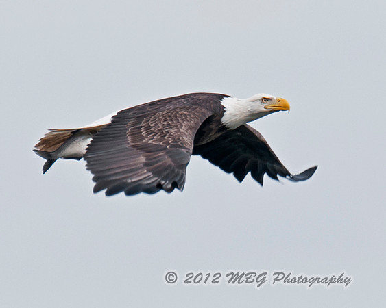 I am using a Nikon D300s with a 400mm f/2.8, sometimes with a TC1.4 for more reach. When the eagle gets close to me I can get good detail. Tracking using a Wimberly gimbal mount is the best way to capture these shots. It takes a lot of practice to lead the eagle just right so that you can follow it in the view finder.