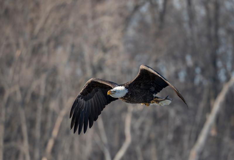 Eagles 36  (1-5-2018)