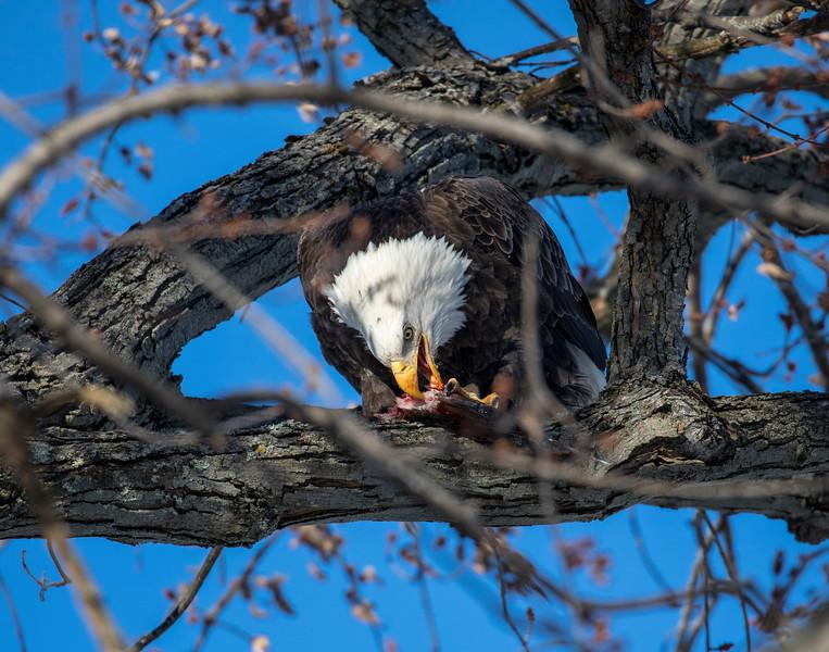 Eagles 43  (1-5-2018)