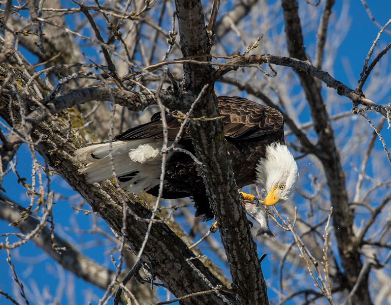 Eagles 15  (1-5-2018)