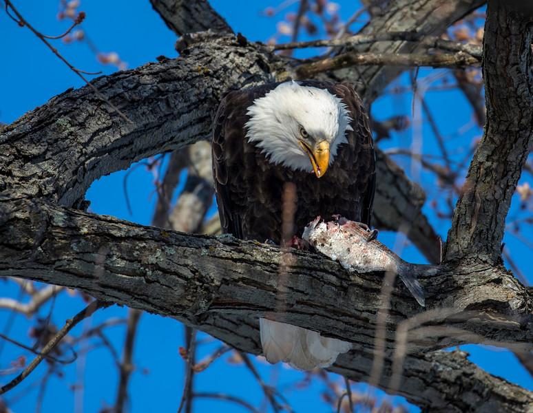 Eagles 480  (1-5-2018)