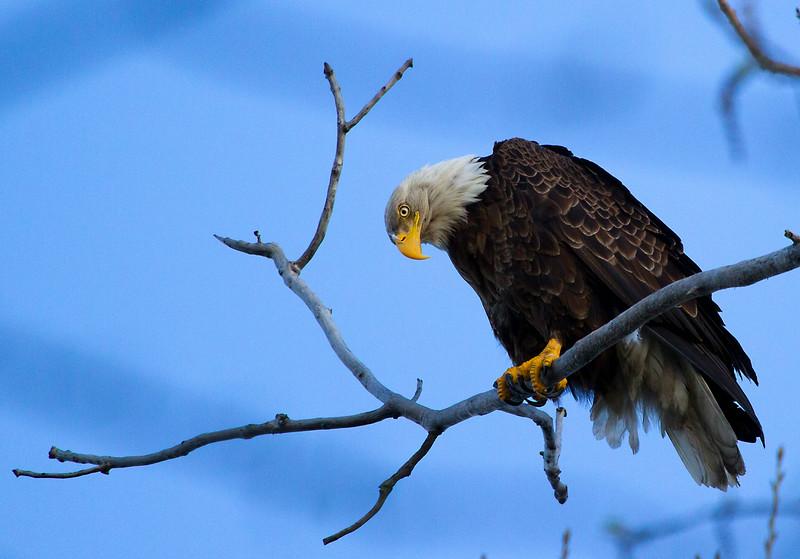 Eagle 12 (2012)