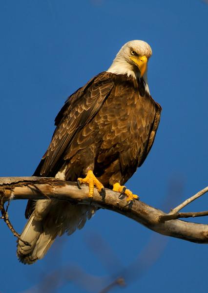Eagle 11 (2012)