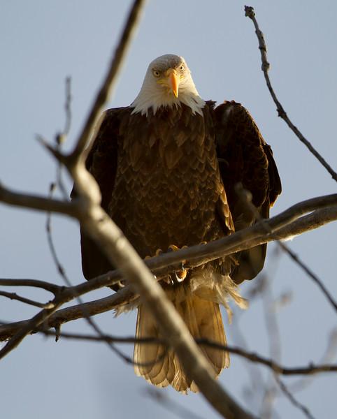 Eagle 3 (2012)