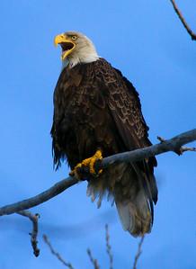 Eagle 8 (2012)