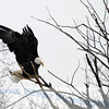 Eagles : 1 gallery with 38 photos