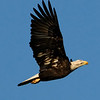 Worcester County, MD Eagles 2008 : 2008 is the year I began photographing American Bald Eagles. Most all of these photographs were taken within a couple of miles from where I live and a few taken in a field across from my house. I guess the fact that there are a lot of chicken houses located in the area might be the draw for them. As you can tell the quality of the photos are not that great. I hope with knowledge and practice that my photographs have improved through the years.