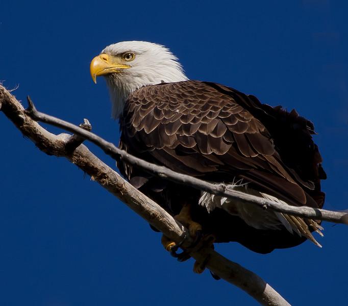 Eagles 29 (2011)