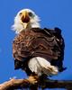 Eagles 21 (2011)