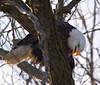 Iowa eagles 9 (2010)
