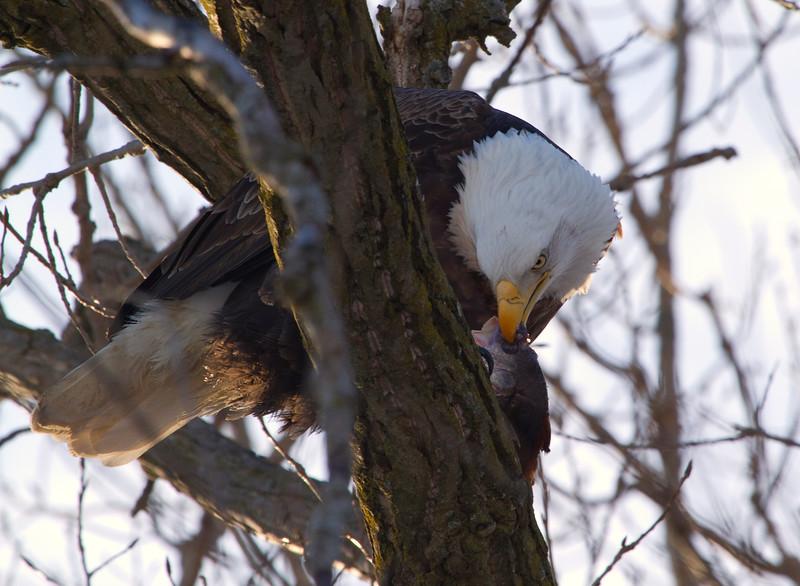 Iowa eagles 10 (2010)