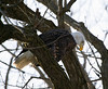 Iowa eagles 3 (2010)