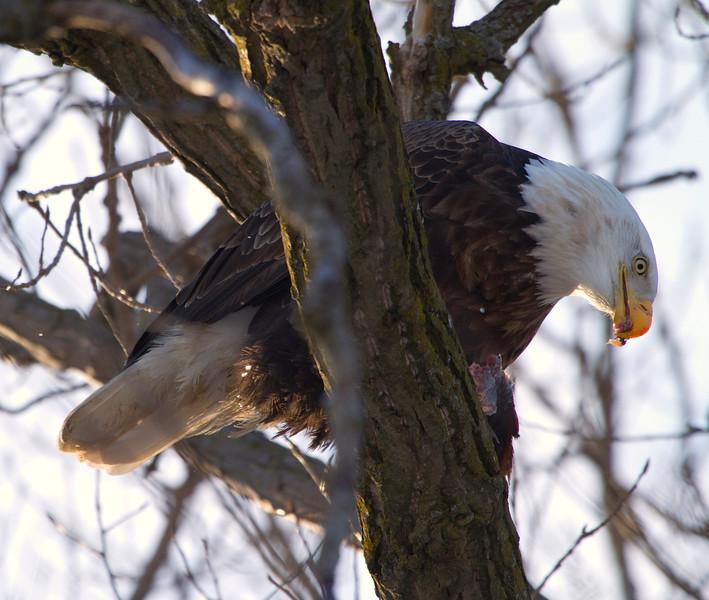 Iowa eagles 11 (2010)