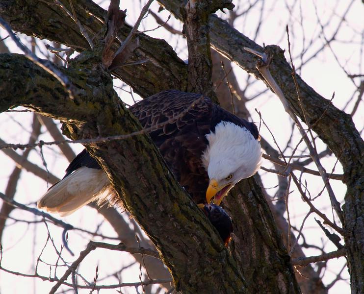 Iowa eagles 5 (2010)