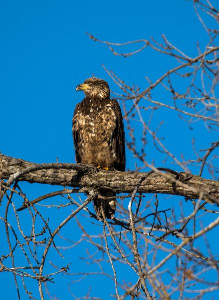 Juvenile eagle 1 (1-5-2018)