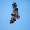 Juvenile eagle 7 (1-5-2018)