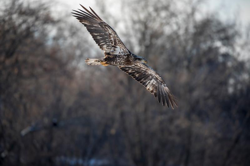 Juvenile eagle 4 (1-5-2018)