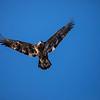 Juvenile eagle 8 (1-5-2018)