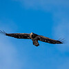 Juvenile eagle 2 (1-5-2018)