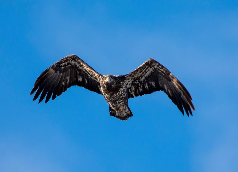 Juvenile eagle 3 (1-5-2018)
