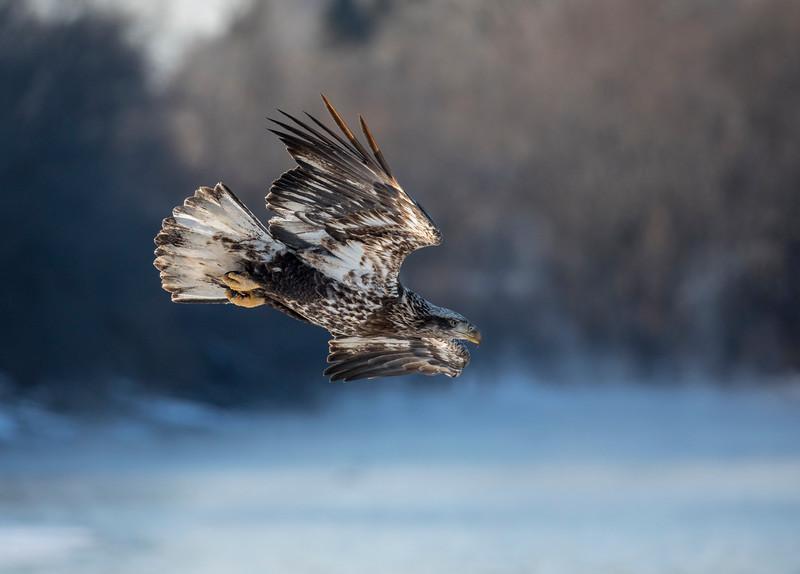 Juvenile eagle 5 (1-5-2018)