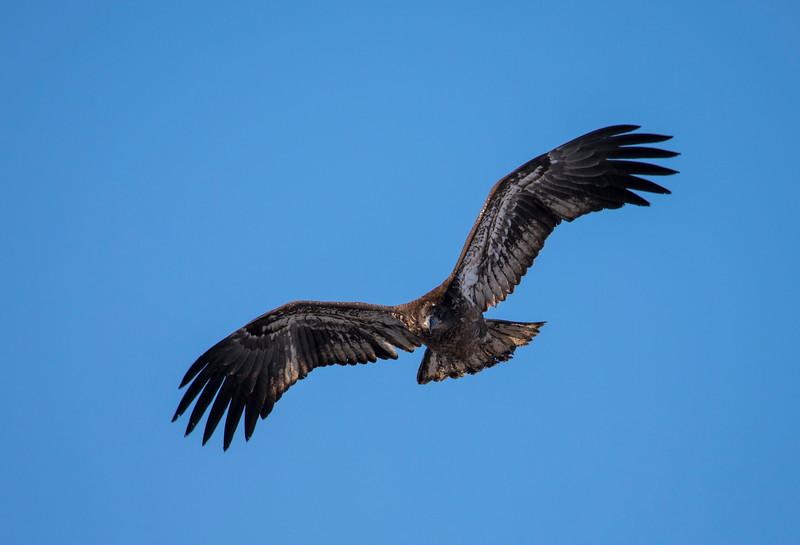 Juvenile eagle 6 (1-5-2018)