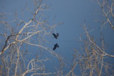 Eagle mirror on Mississippi Bald Eagles of Minnesota